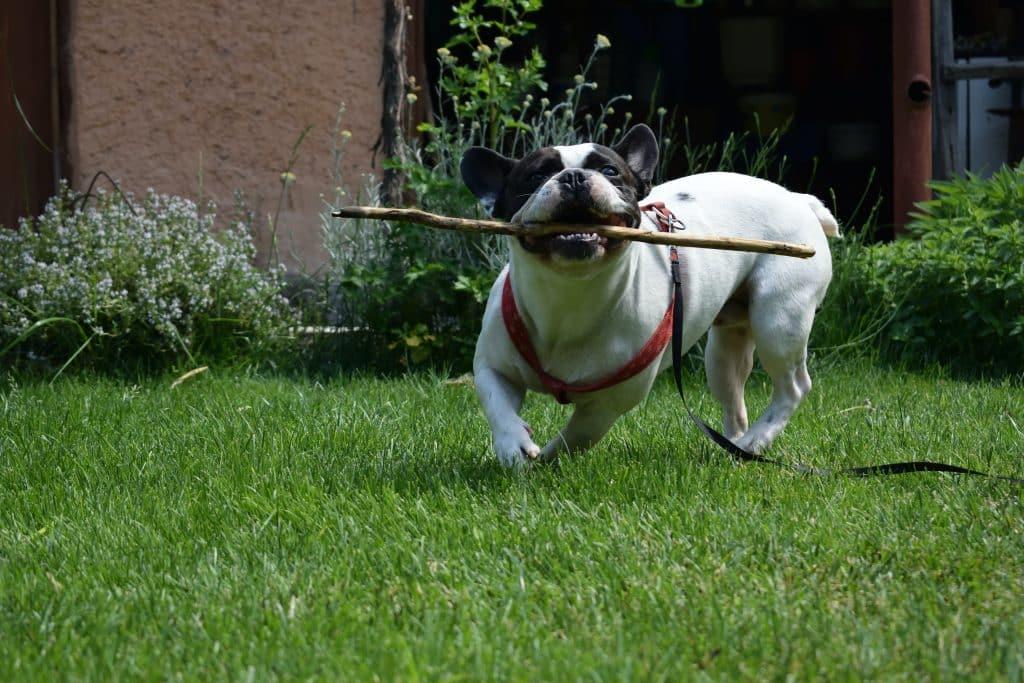Doggo running with stick